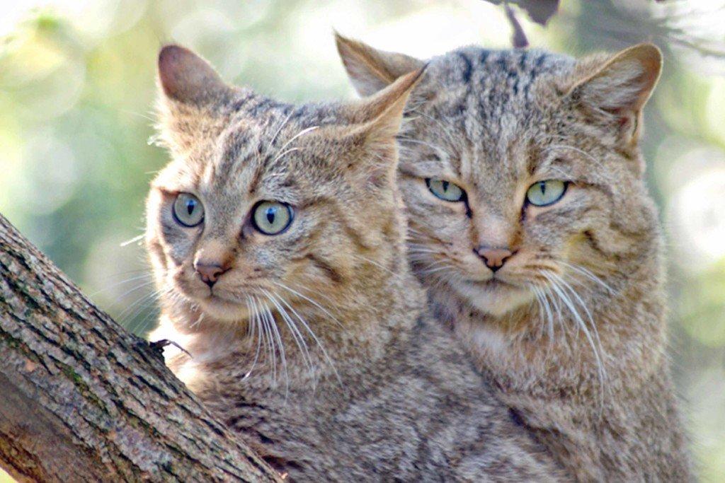 gatti originale