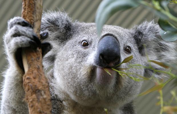 fotografia koala