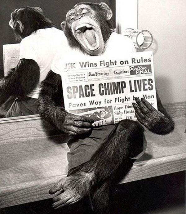 Uno scimpanzé posa per una foto dopo la sua missione riuscita nello spazio nel 1961