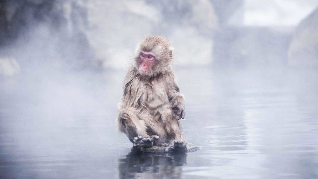 Snow Monkey Jacopo di Cera