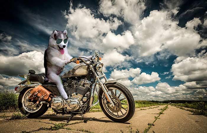 husky-photoshopbattle5