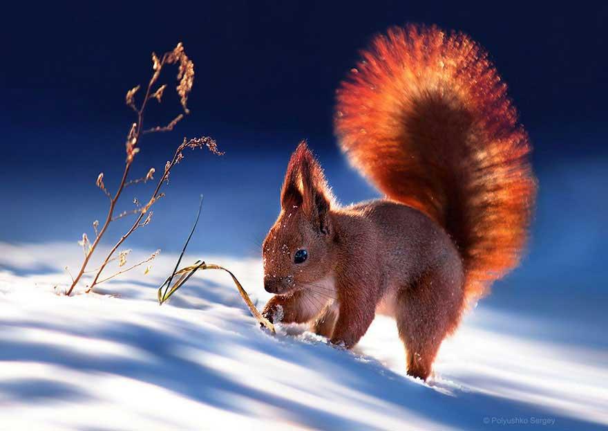sergey-polyushko-scoiattolo4