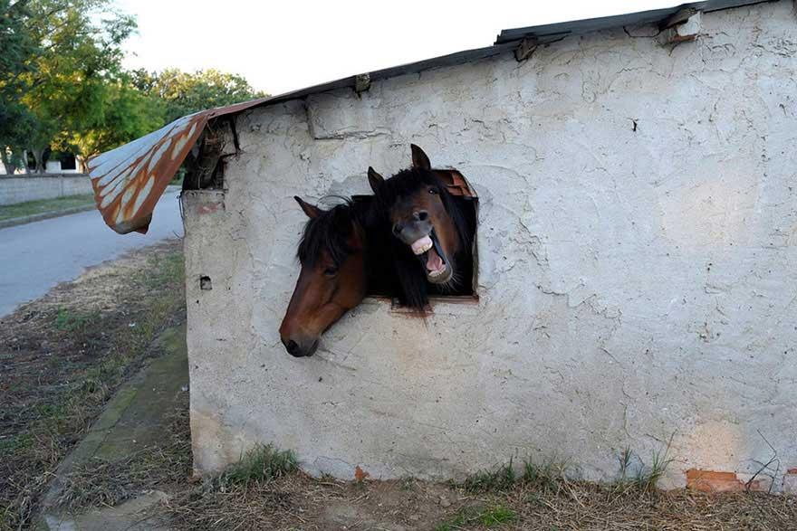 Cavalli curiosi che guardano dalla finestra