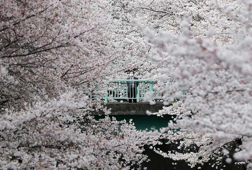 Uomo d'affari giapponese che guarda la fioritura dei ciliegi
