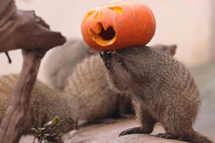 Una mangusta che gioca con la zucca ad Halloween