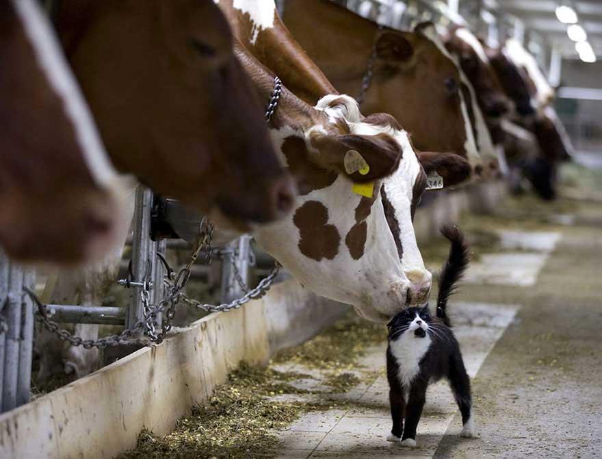 Mucche che fanno le coccole ad un gatto