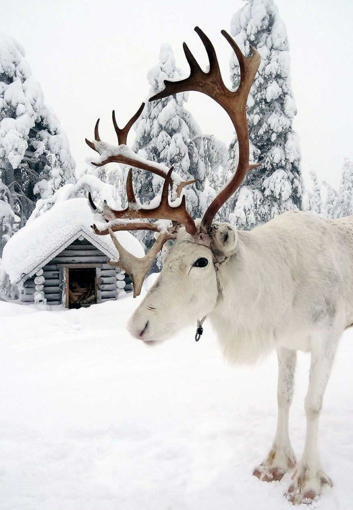 Il Natale in Lapponia, renna