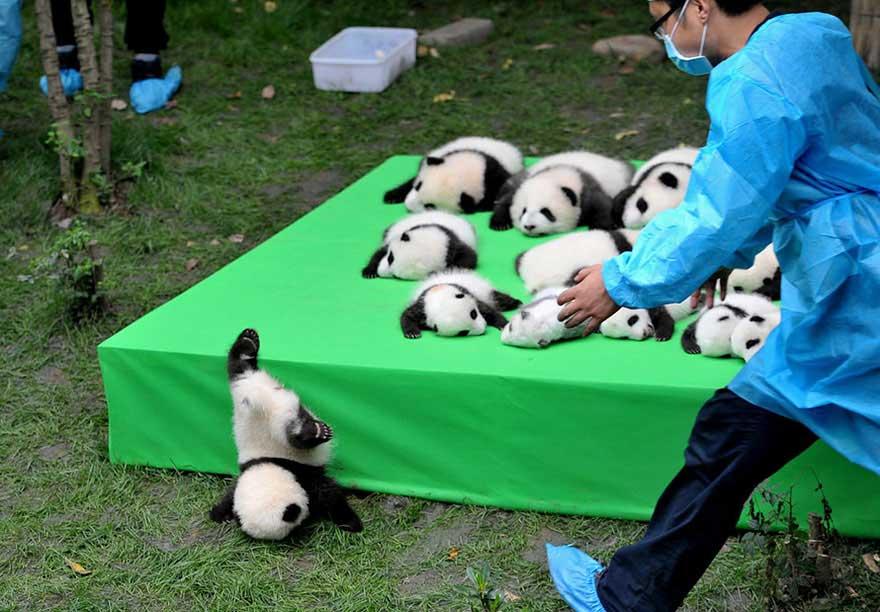 Un panda che cade dal palco