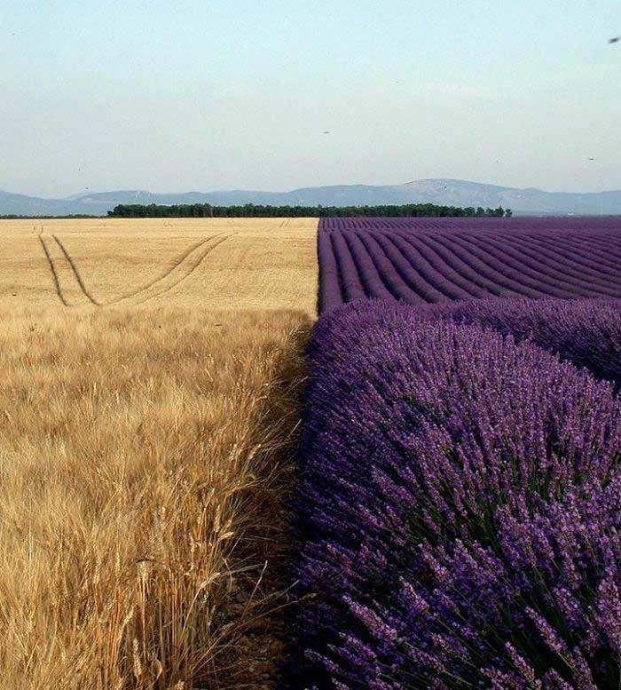 Campo di grano accanto al campo di lavanda, simmetricamente perfetto