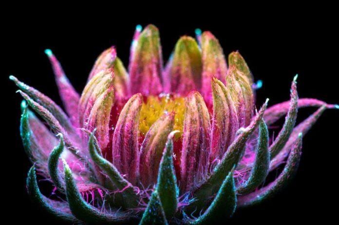 Fiori illuminati con raggi ultravioletti