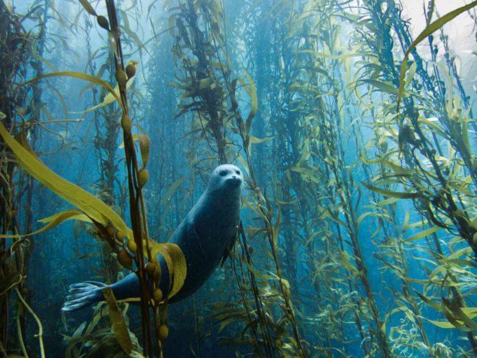 Foca nel mare di San Diego di Kyle McBurnie