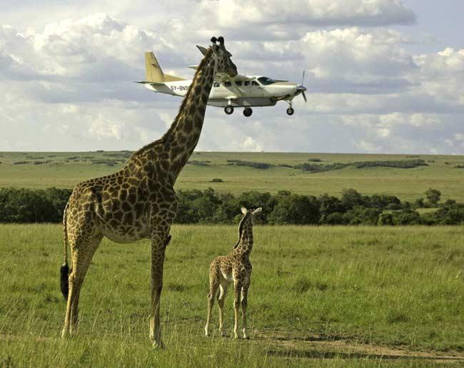 Giraffa controllore di volo