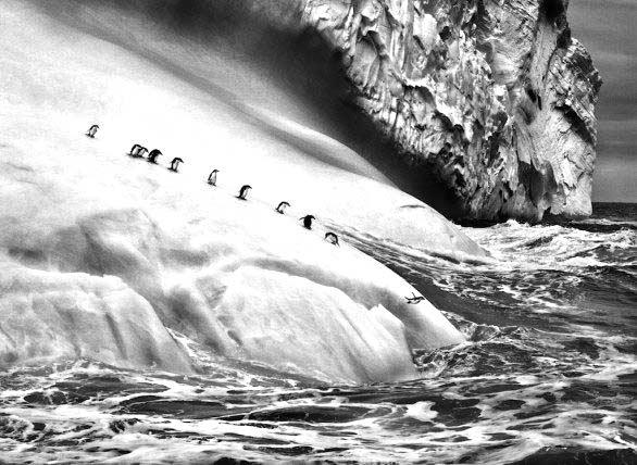 Pinguini, foto del libro Genesi di Sebastiao Salgado