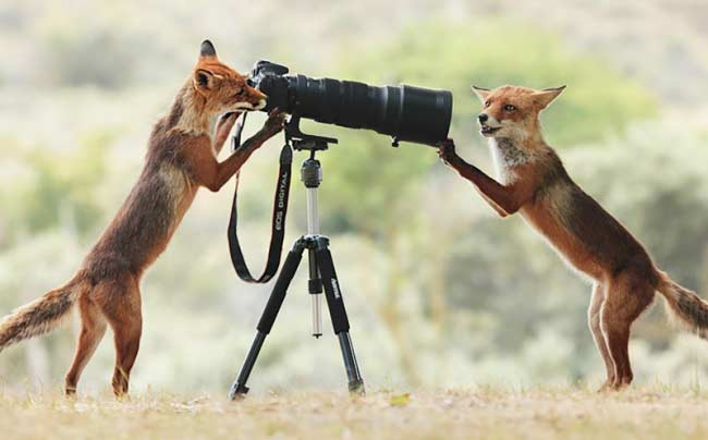 Una volpe fotoreporter