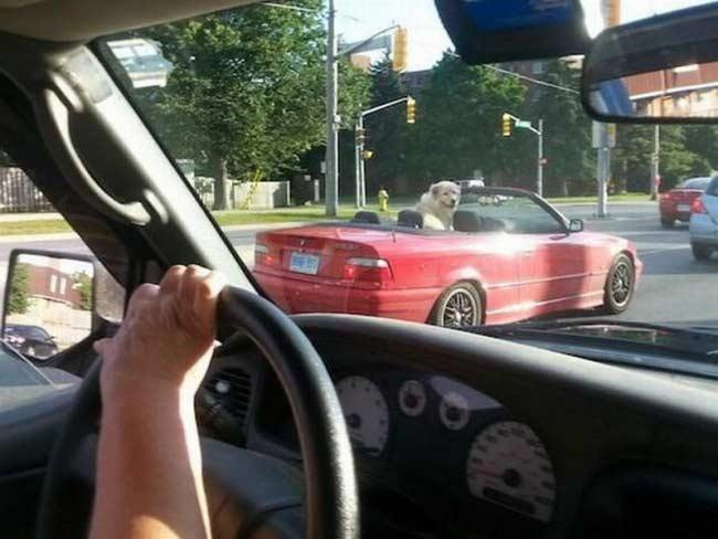 Cane alla guida