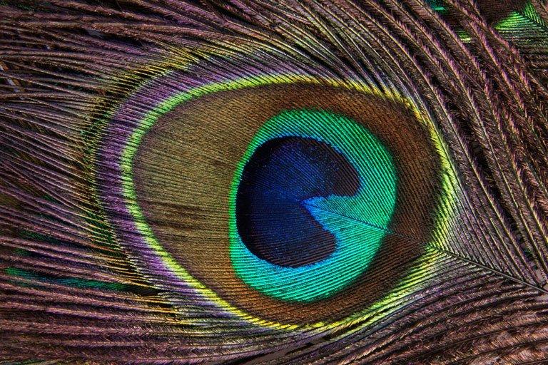 Quale obiettivo comprare per macrofotografia per fotografare le ali di un pavone
