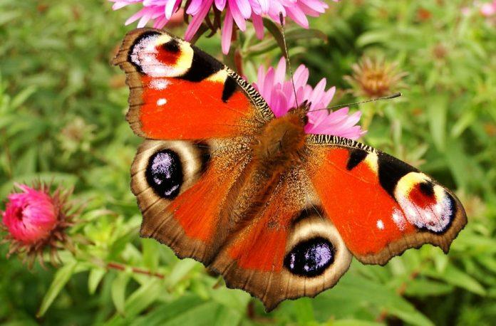 Come fotografare le farfalle